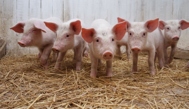 babi terancam terserang virus kolera