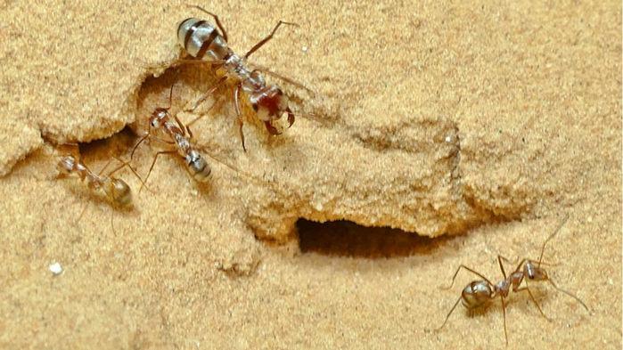 semut tercepat di dunia